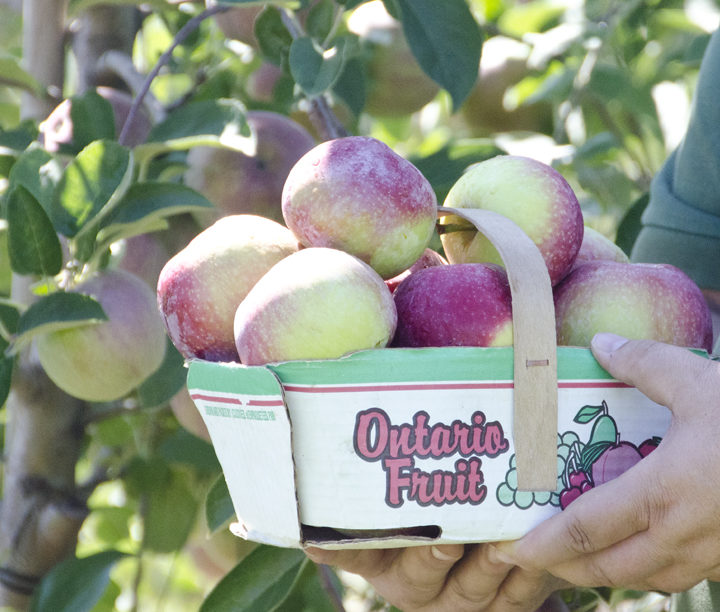 New crop apples are ready!