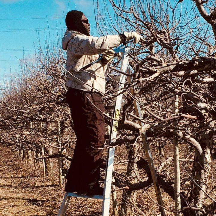 It's Pruning Time in The Orchard!